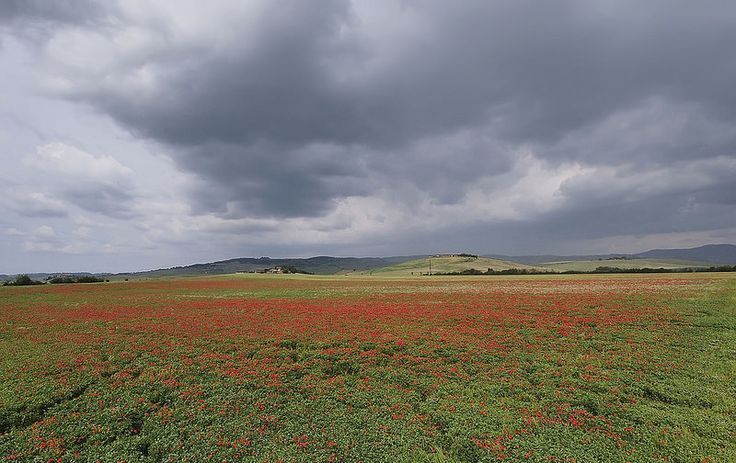 Poppy fields in bloom in Maremma Tuscany