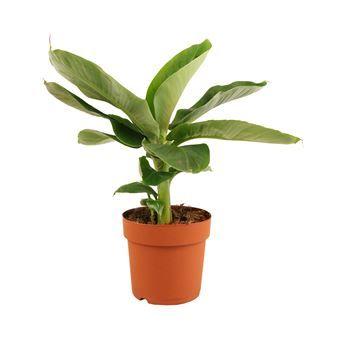 Lekker tropisch! De Musa bananenplant zorgt voor een flinke dosis groen in jouw interieur. Zijn grote, stoere bladeren maken hem een mooie toevoeging voor de woonkamer. Hij staat dankzij zijn tropische roots graag op een zonnige plek.