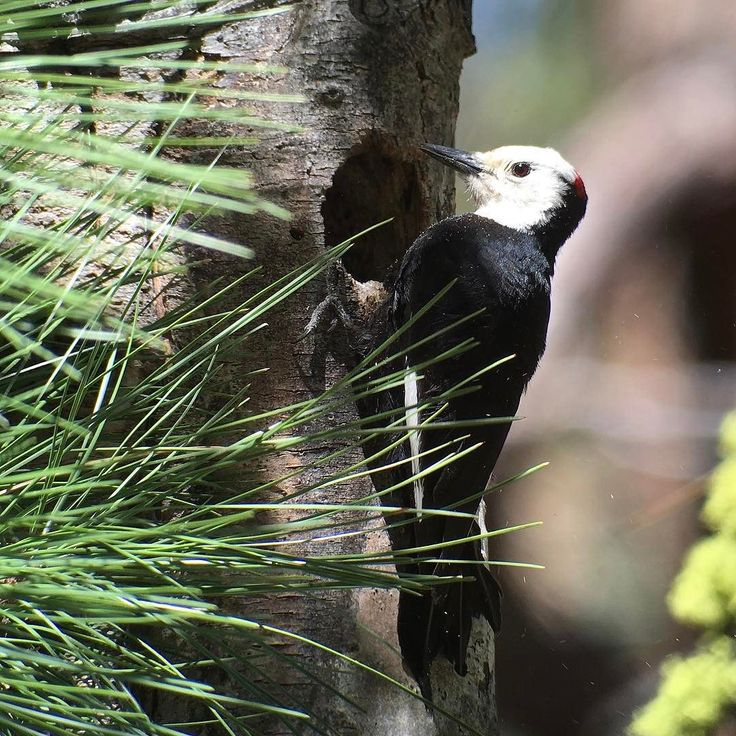 Hipster Birders take over ODFW's Instagram - White-headed woodpecker #MyODFWTakeover  Central Oregon is an amazing hot spot for woodpeckers. We have luckily been able to see a White-Headed Woodpecker every time weve birded the Sisters area. This male (which you can tell by the red on the back of its head) was excavating a hole and calling back and forth with its mate at Cold Springs Campground in Sisters. Editor's Note: Nick and Maureen of @hipsterbirders are taking over the ODFW Instagram…