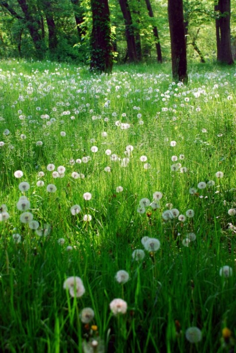 dandelion field: Makeawish, Fields Of Flower, Weed, Fields Of Dreams, Pictures, Dandelions, Natural, Dreams Coming True, Country
