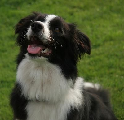 Games that naturally engage herding dogs