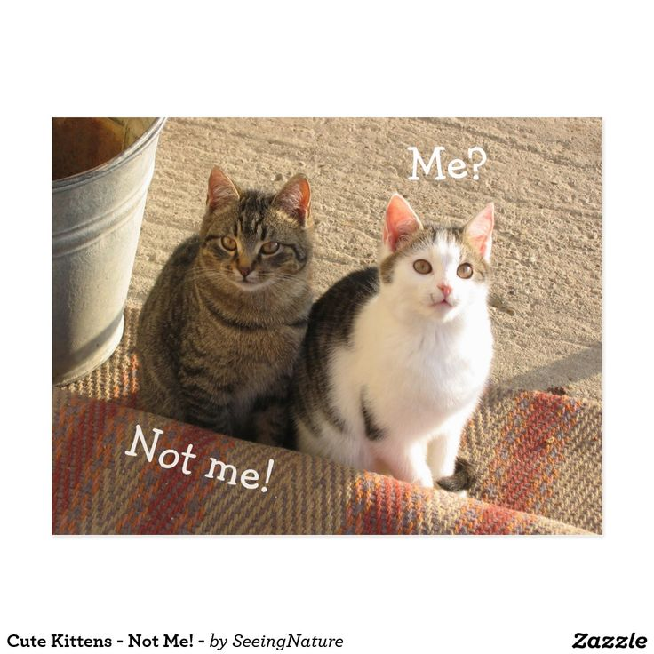 Cute Kittens - Not Me! - Postcard