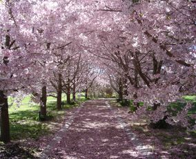 I may have just found my wedding location... can you believe this garden is in NZ? #InLove #Sakura
