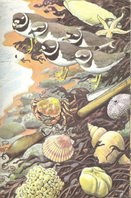 Charles Tunnicliffe, Ringed Plover & various shells & eggs, from Ladybird's 'What to look for in summer'. Old-school charm!