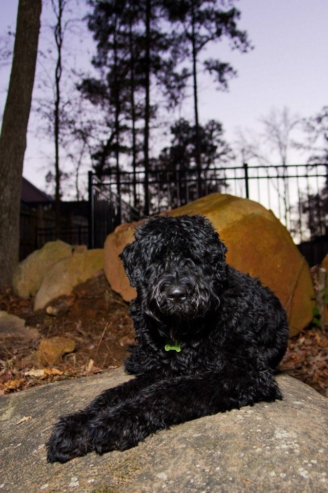 Crusoe our #Black #Russian #Terrier