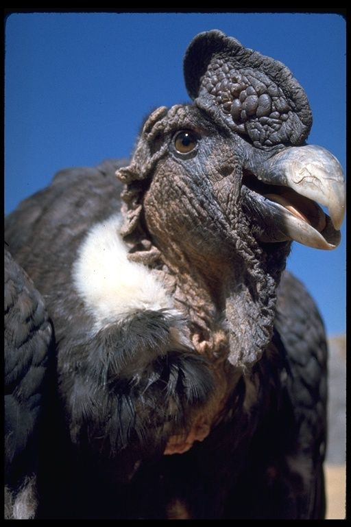 Vultur gryphus; Andean Condor. The largest bird in the world.