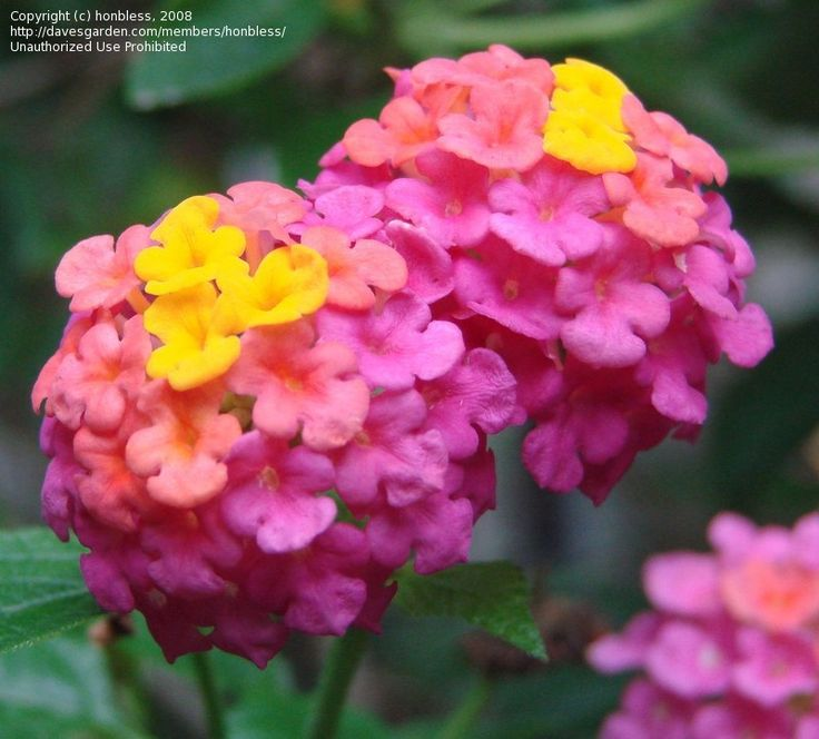Lantana Flower, changes color from yellow to coral to pink, attracts butterflies and hummingbirds. Soo pretty