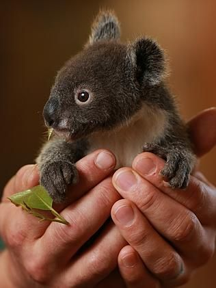 By gum, Archer the orphaned koala has to grow up, with help from Featherdale Wildlife Park staff | dailytelegraph.com.au