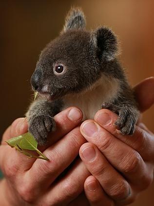 Archer the koala / Picture: Toby Zerna