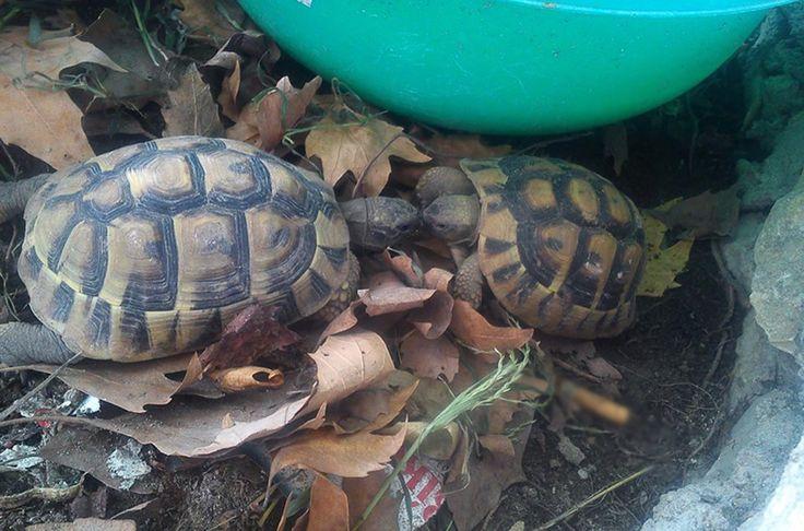 Tortoises/χελώνες  Ο πλάτανος απλώνει ευεργετικά τα πλούσια κλαδιά του, προσφέροντας ευχάριστη σκιά & άλλοι απολαμβάνουν το καφεδάκι τους και άλλοι τον έρωτά τους..
