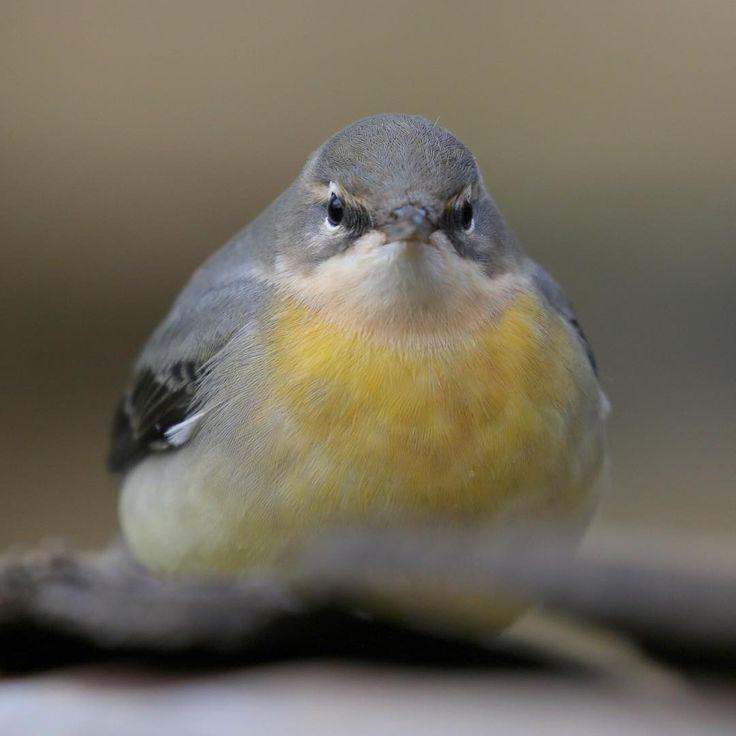 Grey Wagtail | Warnham Nature Reserve