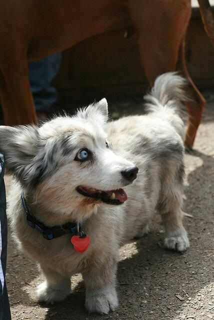 corgi husky mix. I can't imagine mixing those two but alright, makes a cute dog. haha