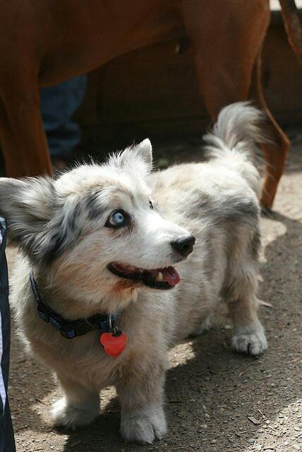 corgi husky mix. I can't imagine mixing those two but alright, makes a cute dog. haha