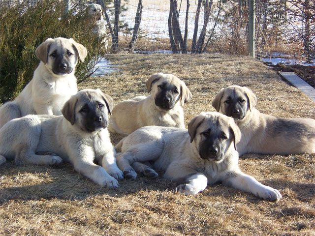Kangal puppies! AWWW!!! That's a bunch of little control freaks!