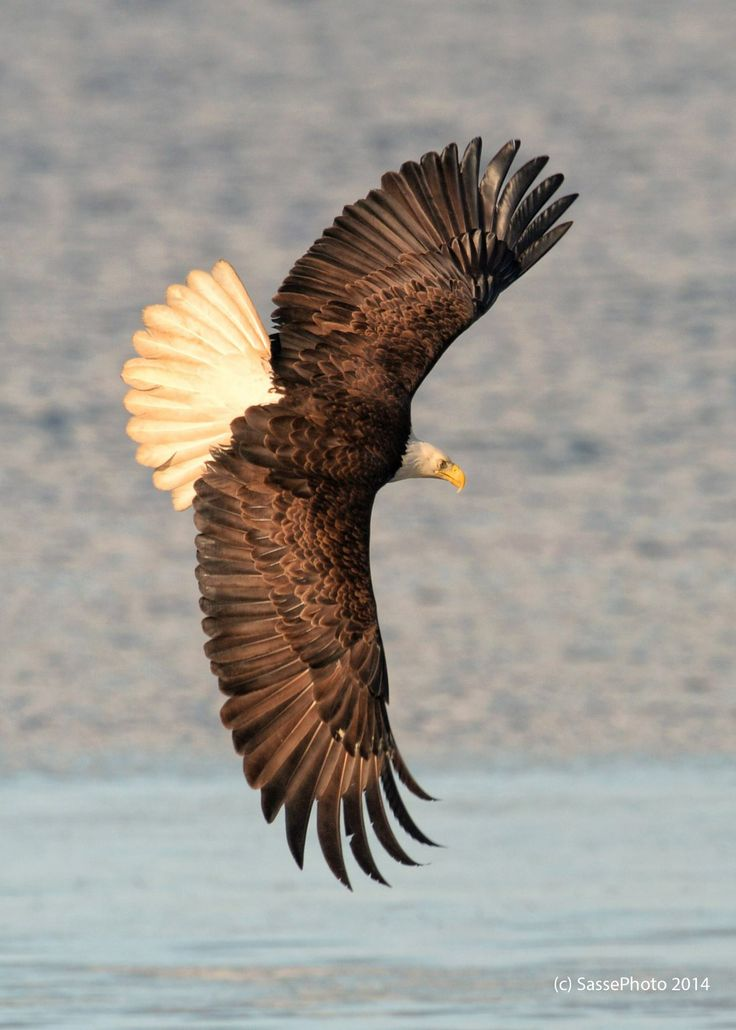 Beautiful Bald Eagle - Flight