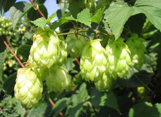 BeerSci: What's The Connection Between Hops And Marijuana? | Popular Science