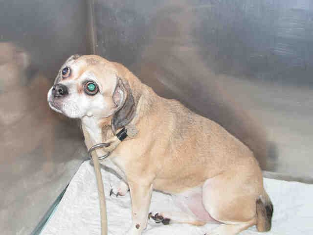 Brooklyn Center FERB – A1091848  MALE, TAN, PUG MIX, 4 yrs STRAY – STRAY WAIT, NO HOLD Reason STRAY Intake condition EXAM REQ Intake Date 09/30/2016, From NY 11419, DueOut Date10/03/2016, I came in with Group/Litter #K16-076230.