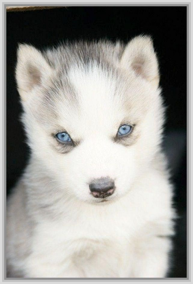 American Husky Puppy With Blue Eyes