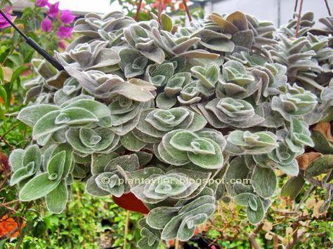 Plants and flowers: sillamontana Tradescantia