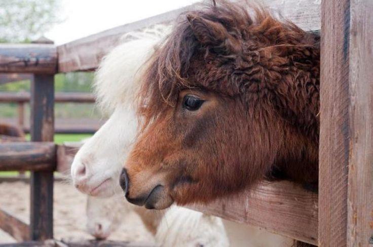 Miniatuur - Paarden | Will Power  - mini ezel, mini-ezels, Mini-Paarden, Mini paard, miniatuur-ezel, ezelfokkerij