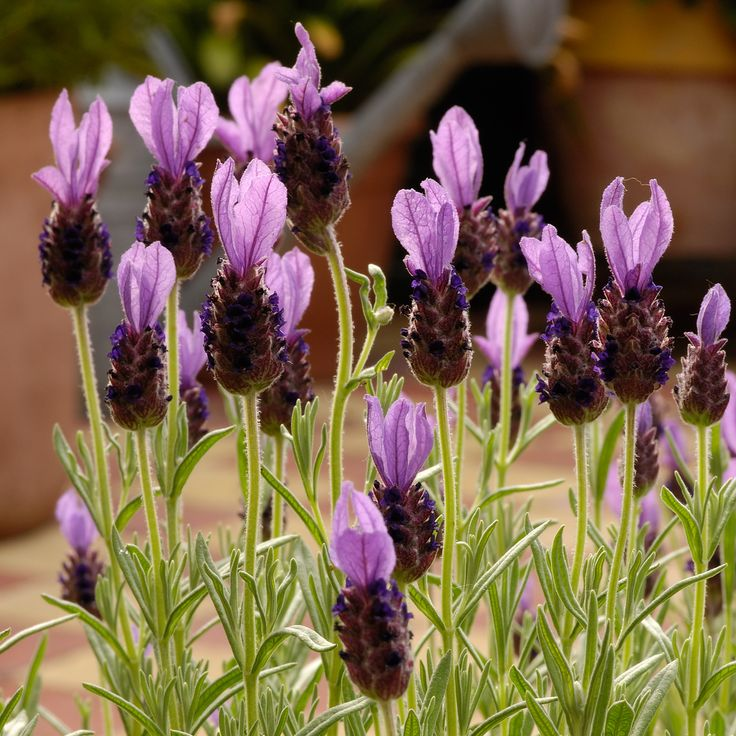 Lavandula stoechas Anouk - French lavender - Dobbies Garden Centres
