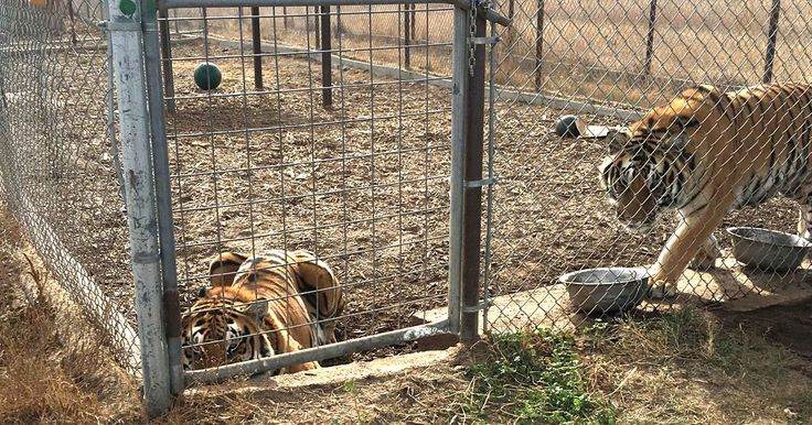 This act places stricter regulations on facilities that own big cats. There are an estimated 5,000 – 7,000 tigers living in captivity today (never mind all the other species of exotic cats), and only about 400 of those tigers live in zoos.