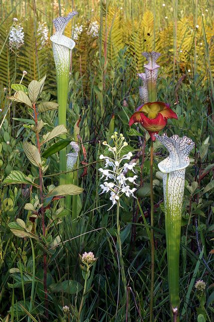 Pitcher plants and orchid    Platanthera conspicua and Sarracenia leucophylla, Southern White Fringed Orchid with White-topped Pitcher Plant, Blackwater River State Forest, Okaloosa County, Florida   Flickr - Photo Sharing!
