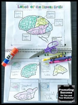 This science interactive notebook craft activity (craftivity) will help your students review the lobes of the brain. It is a fun supplement to a body systems unit study. Students will need to use classroom resources or their own research to match the 16 facts about the lobes of the brain. This human body activity works well in centers or stations for teaching 4th, 5th, 6th grade, middle school and kids with special education learning needs.