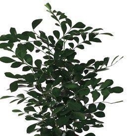 Doftruta  Murraya paniculata   Rutaceae, vinruteväxter  Skir och dekorativ växt som kan blomma med små, vita blommor. blomsterlandet.se