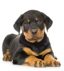 Miniature Rottweiler puppies for sale in MD, DE, NY, NJ, VA and Washington DC - Greenfield Puppies