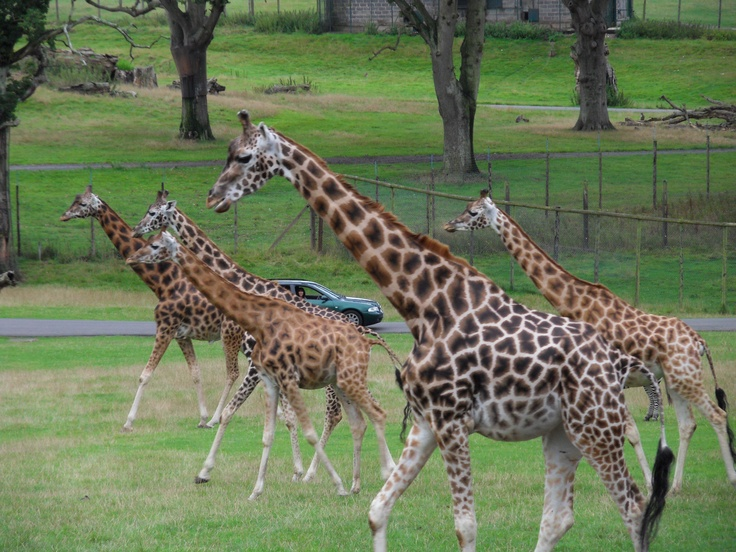 Longleat Safari Park in Wiltshire, was opened in 1966 and was the first drive-through safari park outside Africa.  Though I would much rather see these animals in their natural habitat, this is the closest I'm going to get for now.