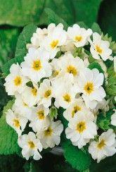 Primula vulgaris- Wild primrose -Plants