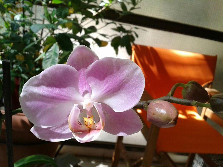 phalaenopsis beautiful close up alexonio photography