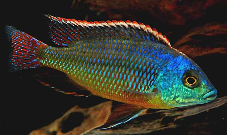 Malawi cichlids haplochromis known as haps species for African freshwater fish