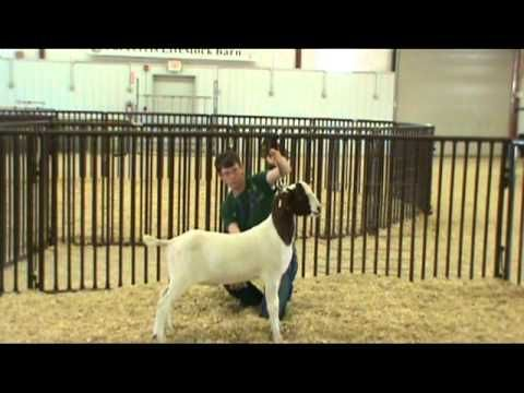 watch the video on how to show goats