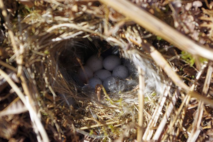 Tuesday Tea Time Teaser Test Your Knowledge Which British birds nest is this?  Last week's was a Song Thrush nest Picture by Keith Cowieson