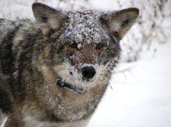 The Eastern Coyote Looks Like A Medium Sized German