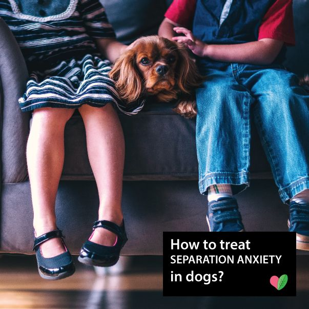How to treat separation anxiety in dogs? Sometimes dog parents witness abnormally needy behavior that turns into aggression or disobeying of basic house rules. Every pampered dog shows signs of separation anxiety as a baby, but the trouble begins when they refuse to improve even when they grow up. This can not only be a hassle in living a regular life but also be unhealthy for the dog. Here's everything you need to know about separation anxiety and also