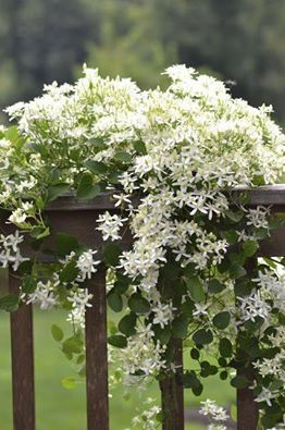 sweet autumn clematis is a completely whimsical and enticing vine that can make any outdoor space attractive would like a split rail fence in front of
