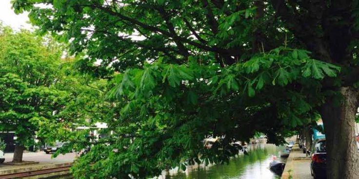 Degemeente Den Haag negeert de oplossing die bewoners aandragen om de bomen tebehouden aan de Veenkadeen Toussaintkade. Drie dagen voor de rechtszaak overde fel bestreden kapvergunning bracht wethouder BoudewijnRevis eenonderzoeksrapport naar buiten. Het rapport zou aantonen dat behoud nietmogelijk is. Op het alternatiefdat bewoners hebben aangedragen gaat zowel degemeente als het rapport niet in. Bewoners …