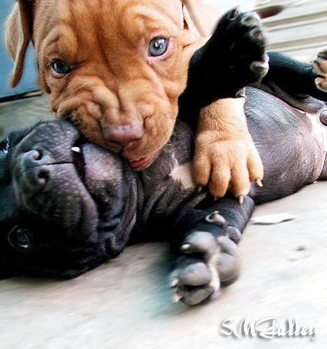 #PitBull #Puppies
