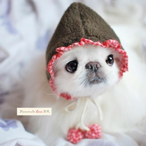 ACK #Pekingese that is do wrong but that puppy is sooo cute!