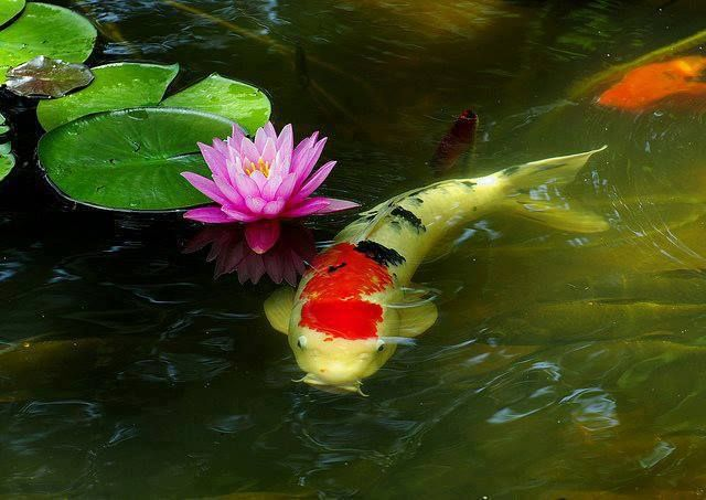 208 best images about koi fish waterfowl on pinterest for Koi fish water