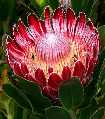 The beautiful Protea flower, native to South Africa. The flower was named after the Greek god Proteus.
