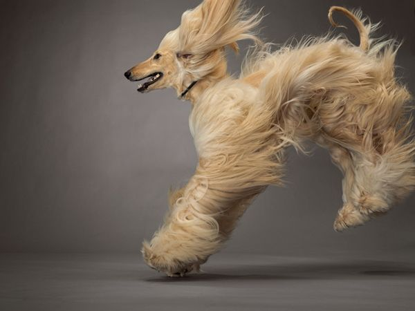 NG Centerfold! How I love the Afghan Hound.
