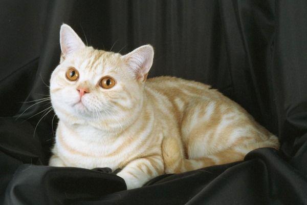 Пупочная грыжа у кошки