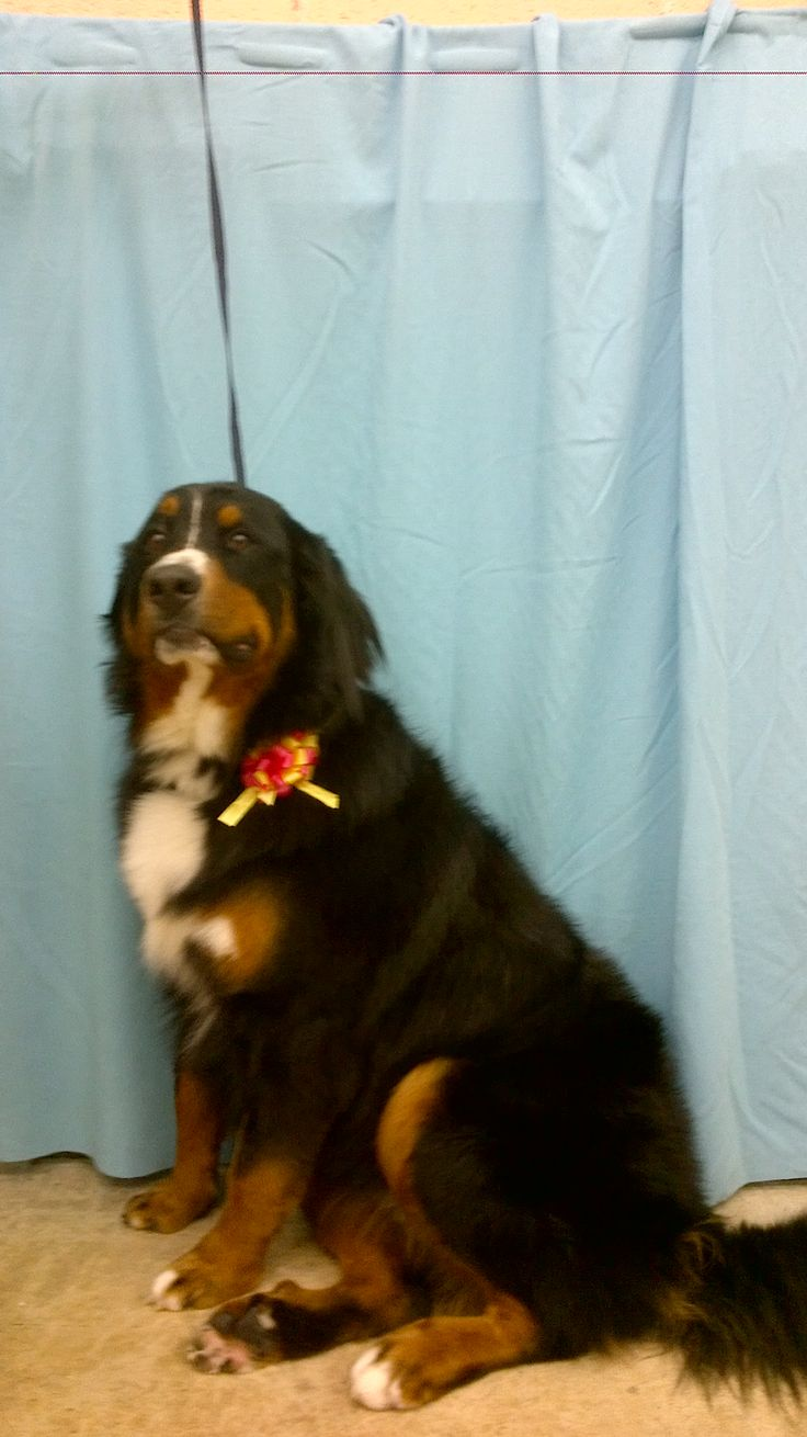 8 best animal hut grooming images on pinterest animais animaux one of our lovely bernese mountain dog customers big and small we groom them all solutioingenieria Gallery