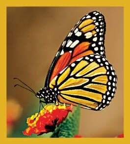 Monarch Butterfly - no longer available