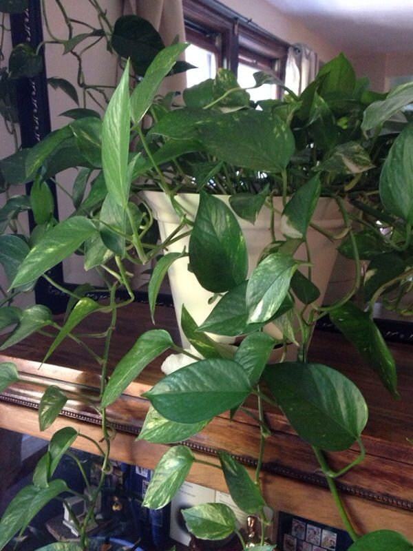 25 best ideas about pothos vine on pinterest kitchen plants pothos plant and plants indoor. Black Bedroom Furniture Sets. Home Design Ideas