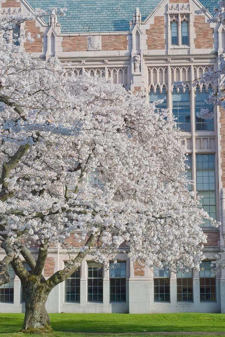 Cherry Blossoms Seattle, Washington - See them at the Seattle Cherry Blossom Festival, the quad at the University of Washington, Seward Park and Jefferson Park (pc: Steve Voght) // Local Adventurer #seattle #washington #pnw #cherryblossoms
